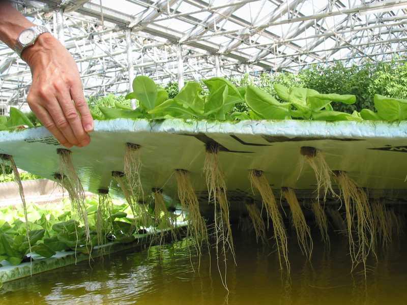выращивание укропа как бизнес в домашних условиях